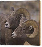 Big Horn Rams   #4664 Wood Print