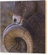 Big Horn Rams   #4732 Wood Print