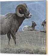 Big Horn Sheep 2 Wood Print