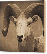 Big Horned Ram Wood Print