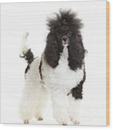 Black And White Poodle Wood Print