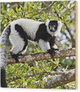 Black And White Ruffed Lemur Madagascar Wood Print