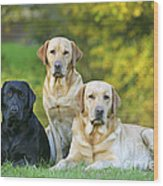 Black And Yellow Labrador Retrievers Wood Print