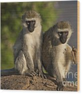 Black-faced Vervet Monkey Wood Print
