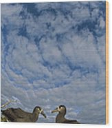 Black-footed Albatross Courtship Dance Wood Print by Tui De Roy