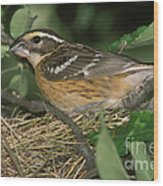 Black-headed Grosbeak Female Wood Print