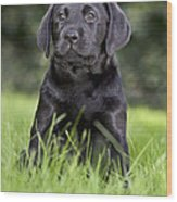 Black Labrador Puppy Wood Print
