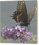 Black Swallowtail Butterfly Feeding Wood Print