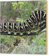 Black Swallowtail Caterpillar Wood Print