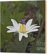 Bloodroot Wildflower - Sanguinaria Canadensis Wood Print