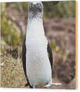 Blue Footed Boobie Dancing Galapagos Wood Print