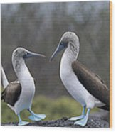 Blue-footed Boobies Courting Galapagos Wood Print