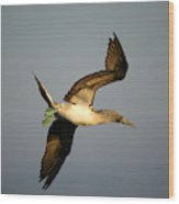 Blue-footed Booby, Sula Nebouxii, Santa Wood Print