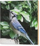 Blue Jay 1 Wood Print