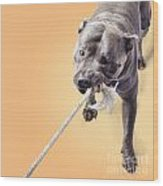 Blue Staffie Having A Tug Of War Wood Print