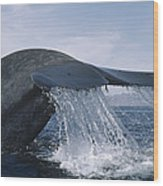 Blue Whale Tail Sea Of Cortez Mexico Wood Print