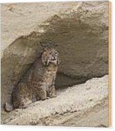 Bobcat  Felis Rufus Wood Print by Carol Gregory
