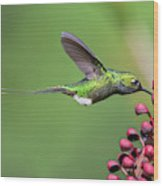 Booted Racket-tail Wood Print