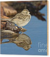 Brewers Sparrow At Waterhole Wood Print