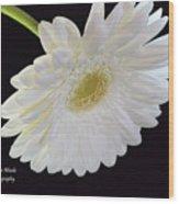 Bright White Gerber Daisy # 2 Wood Print