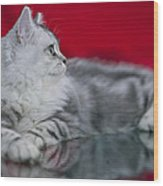British Longhair Kitten Wood Print
