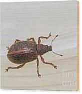 Broad-nosed Weevil - Polydrusus Mollis Wood Print