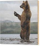 Brown Bear In River Kamchatka Russia Wood Print