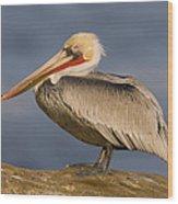 Brown Pelican Portrait California Wood Print