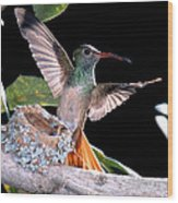 Buff-bellied Hummingbird At Nest Wood Print