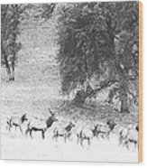 Bull Elk With Harem Wood Print
