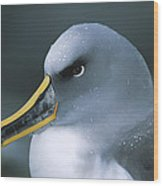 Bullers Albatross With Colorful Bill Wood Print