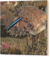 Burrfish And Cleaner Goby Wood Print