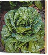 Butterhead Lettuce Wood Print