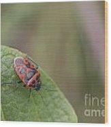 Cabbage Shield Bug Wood Print