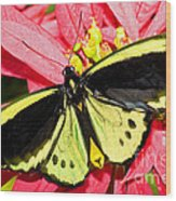 Cairns Birdwing Butterfly Wood Print