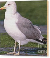 California Gull Wood Print