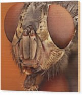 Calliphora Vicina 61 Wood Print