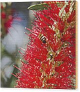 Callistemon Citrinus - Crimson Bottlebrush Wood Print