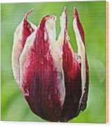 Candy Tulip Wood Print