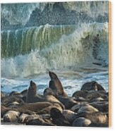 Cape Fur Seals Arctocephalus Pusillus Wood Print