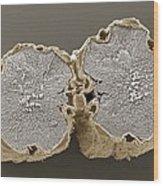 Caraway Fruit, Sem Wood Print