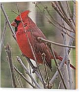 Cardinal 122 Wood Print