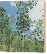 Cassava Plantation In Ecuador Wood Print