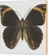 Catoblepia Xanthus Butterfly Wood Print