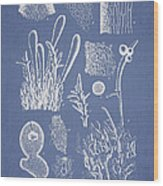 Ceratodictyon Spongiosum Zanard Wood Print by Aged Pixel