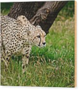 Cheetah Acinonyx Jubatus Big Cat  Wood Print