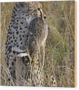Cheetah Carrying Its Prey Wood Print