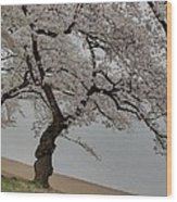 Cherry Blossoms - Washington Dc - 011343 Wood Print
