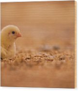 Chick In Poultry Barn Wood Print