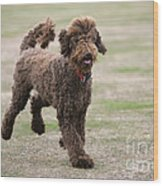 Chocolate Labradoodle Running In Field Wood Print